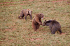 Bears. Two bears fighting while one is looking at the scene stock image