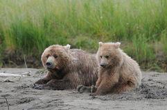 Bears Waking Up From NAp Time. A mother Bear and her Cub waking up from a nap Stock Photo