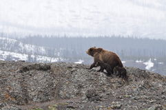 Bears Walking on Rocky Mountain Royalty Free Stock Photo