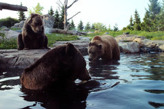 Bears in the Water. 2 bears wait for a melon while one eats a whole melon Stock Image