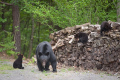 Bears on the wood pile Royalty Free Stock Images