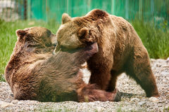 Bears wrestling in the zoo Royalty Free Stock Image