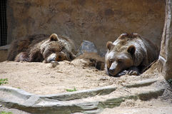 Bears in Zoo Royalty Free Stock Images
