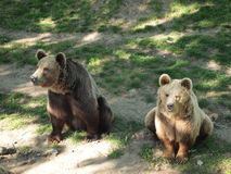 Bears in zoo. Sitting on the ground Royalty Free Stock Images