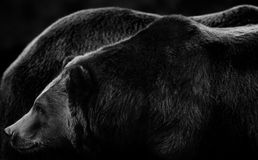 Bearscapes. Giant sized Alaskan brown bears in subtle black and white tones Royalty Free Stock Photos