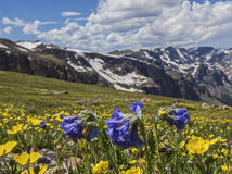 Beartooth深色会开蓝色钟形花的草和毛茛狂妄剧 免版税库存图片