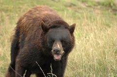 Beary Happy to see You! 2. A friendly neighborhood bear here in Texas. I tracked him down on my horse 2 bits while my spurs jangled and 10 gallen kept me cool Royalty Free Stock Photography