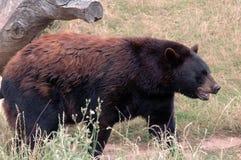 beary lyckligt ser till dig Royaltyfria Bilder