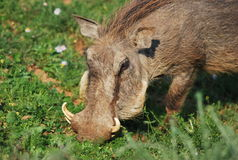 The Beast. Warthog photographed at Addo Elephant Park South Africa Royalty Free Stock Images