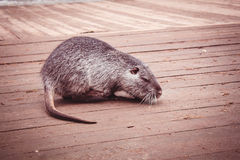 Beast animal farm rodent home Stock Images