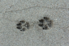 Beast footmark. In the sand on the beach Royalty Free Stock Images
