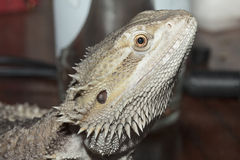 Beast. A Photo of My Bearded Dragon Beast Stock Photography