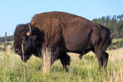 Beastly single american bison in green plains of the Black Hills stock images