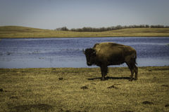 Beastly Stare. A bison stands by a pond, staring at an unwelcome visitor with a camera stock photos