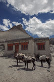 Beasts of Burden. The burden donkeys and mules are caring everything up and down in the Stok Range in Ladakh Stock Image