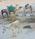 Beasts of Burden, Giza, Cairo area, Egypt. Beasts of Burden:  Camel, burro, and ponies or small horses waiting for tourist riders near the Great Pyramids, Giza Stock Image