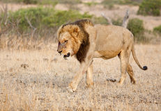 Beaten. Male lion in south Africa, retreats after a serious fight Stock Photo