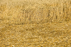 Beaten down. Wheat field with beaten down stems by storm damage royalty free stock photography