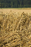Beaten down. Wheat field with beaten down stems by storm damage stock photography