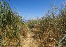 Beaten down pathway through the long tall grass on a clear sunny day. Path through the green and yellow grass with blue skies background Royalty Free Stock Photos