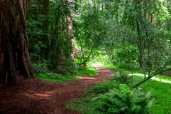 Beaten path leading around the bend and into the forest. Taken in Muir Woods National Monument stock photos