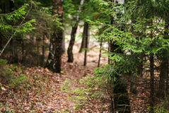 The beaten path in a pine forest. The beaten path in a pine autumn forest Royalty Free Stock Photography