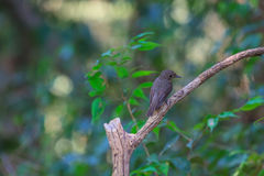 Beatiful asian brown flycatcher standing on branch Stock Photo
