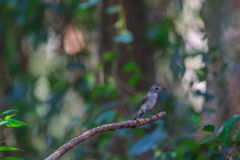 Beatiful asian brown flycatcher standing on branch Royalty Free Stock Photography