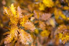 Beatiful Autumn background composed of brown half dry oak leafs on branch. Beatiful Autumn background composed of brown half dry oak leafs on branch stock photography