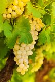 Beatiful bunch of white grape Stock Image