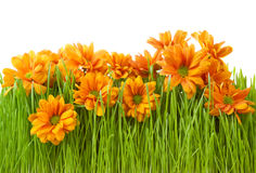Beatiful chrysanths flower in green grass Stock Photos