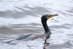 Double-crested Cormorant (Phalacrocorax auritus) Royalty Free Stock Photos