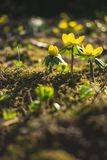 Beatiful close up yellow spring flowers. One of the first yellow spring flowers that come after the winter stock photo