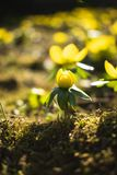 Beatiful close up yellow spring flowers. One of the first yellow spring flowers that come after the winter royalty free stock images