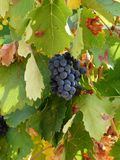 Beatiful cluster of grapes in autumn. Waiting for the harvest, it will soon become wine Royalty Free Stock Photos