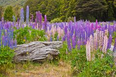 Beatiful colorful lupins blooming in New Zealand. Tourism time, famous touristic place for flower viewing, milford sound area national park royalty free stock image
