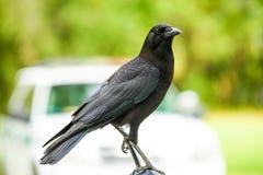 Beatiful Crow. A crow facing the camera Royalty Free Stock Photos