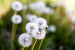 Beatiful dandelions. Cute dandelions with soft background blur royalty free stock photography