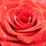 Beatiful dark red rose. Royalty Free Stock Photos