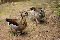 Beatiful ducks Royalty Free Stock Images