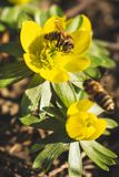 Beatiful flower with hard working bees. Beautiful yellow flowers with hard working bees to collect the pollen stock photo