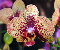 Beatiful flower of red and yellow oriental orchid. Spain Stock Image
