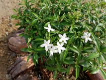 Beatiful whitel Flower. This is a picture of a flower. Natural beauty of sri lanka royalty free stock image