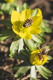 Beatiful flowers with hard working bees. Beautiful yellow flowers with hard working bees to collect the pollen stock image