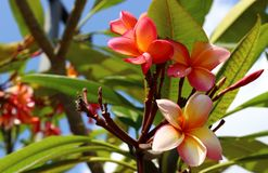 Pink flowers plumeria royalty free stock image