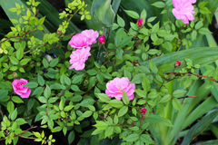 Beatiful fresh roses in the garden.  Rose with pink petals. Spring flowers. Delicate flowers in the park Stock Photos