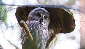 Beatiful Great Grey Owl (Strix nebulosa) Stock Photo