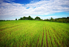 Beatiful green field with blue sky. Royalty Free Stock Photo