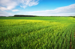 Beatiful green field with blue sky. Stock Images