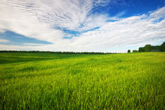 Beatiful green field with blue sky. Royalty Free Stock Image